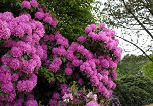 Фотографии Рододендрон Вблизи Розовых Цветы