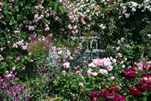 Картинки Англия Сады Роза Много Rosemoor Gardens Devon цветок