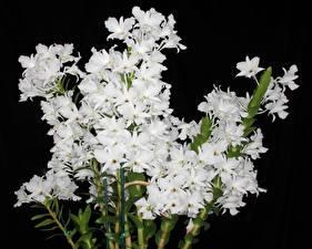 Фото Орхидеи Крупным планом На черном фоне Белых цветок