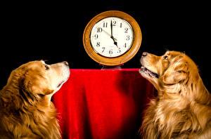 Фото Собаки Часы Черный фон Ретривер Двое Животные