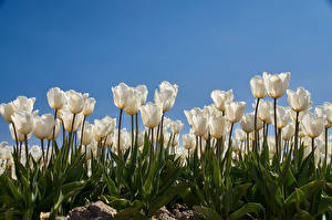 Фотография Тюльпан Много Белая Цветы
