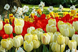Фото Тюльпаны Нарциссы Много Крупным планом Цветы