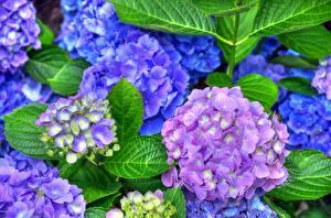 Фото Гортензия Крупным планом Цветы