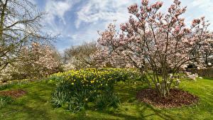 Картинка Германия Парки Цветущие деревья Нарциссы Park Ruhr Природа