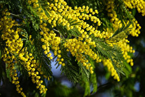 Фото Мимозы Цветущие деревья