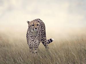 Фотографии Большие кошки Гепарды Трава