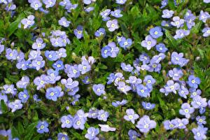 Картинки Много Голубой Veronica Georgia Blue Цветы