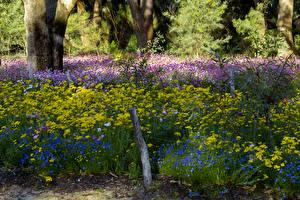 Обои Австралия Парки Маргаритка Васильки Park in Perth Природа