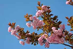 Фото Цветущие деревья Ветки Розовый