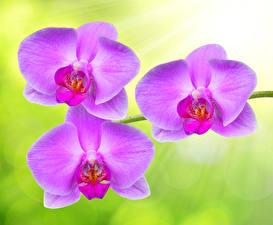 Картинка Орхидея Крупным планом Фиолетовых Цветы