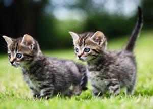 Обои Кошки Трава Котята Вдвоем животное