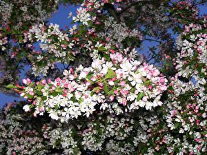 Фотография Цветущие деревья Ветки