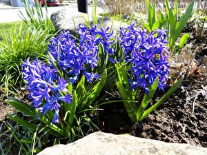 Фотография Гиацинты Вблизи Синий Цветы