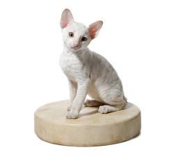 Картинки Коты Котят Белые Белым фоном Cornish Rex животное