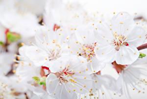 Фото Цветущие деревья Вблизи Белый
