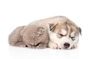 Обои Собака Коты Хаски Котят Щенка Спит Двое Белом фоне Животные