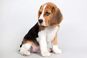 Картинки Собаки Бигль Щенок