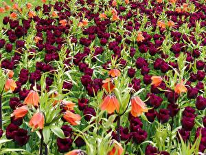 Фото Тюльпаны Рябчик Много Цветы