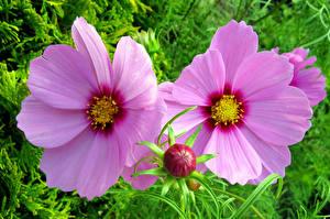 Фотография Космея Крупным планом Бутон Розовых Двое цветок