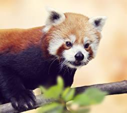 Картинки Панды Малая панда Смотрит Животные