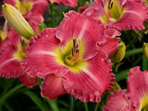 Обои Лилии Вблизи Розовый Цветы