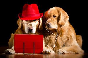 Картинки Собаки Ретривера 2 Шляпы Очков На черном фоне Животные