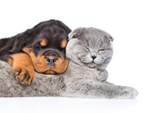 Фотография Кошка Собака Щенки Котенок Ротвейлер 2 Сон Белом фоне Животные