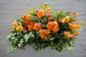 Фотография Бегония Оранжевый Листья Цветы