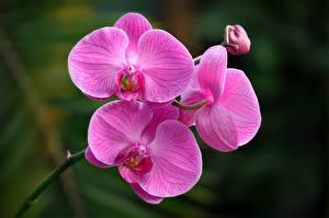 Картинка Орхидеи Крупным планом Фиолетовых цветок