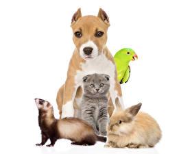 Обои Собаки Попугаи Кролики Котята Амстафф
