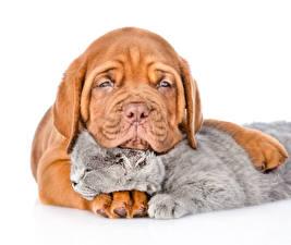 Обои Собаки Кот Щенки Котенка Бордоский дог Двое Белом фоне животное