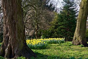 Обои Великобритания Парки Нарциссы Ствол дерева Ели Museum Gardens York Природа