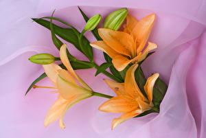Картинка Лилия Оранжевых Бутон Цветы