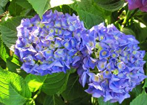 Картинка Гортензия Вблизи Голубой Цветы