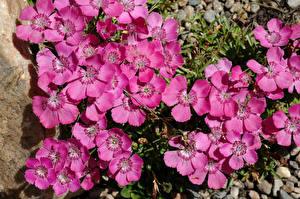 Картинки Гвоздика Крупным планом Розовая Цветы