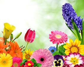 Картинка Гиацинты Тюльпаны Герберы Цветы