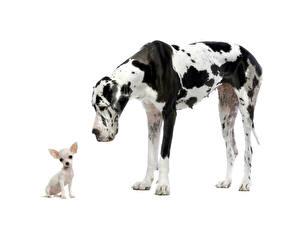 Фотография Собака Далматинцев Чихуахуа Двое Белый фон Животные