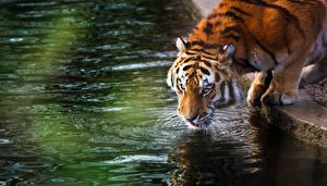 Картинка Большие кошки Тигр Воде Пьет воду животное