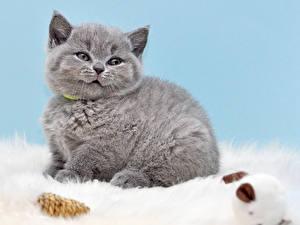 Обои Кошки Котята Серый Взгляд Животные фото