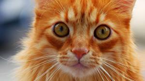 Обои Кошки Глаза Взгляд Рыжий Морда Усы Вибриссы Животные фото