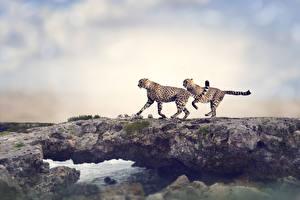 Фотографии Большие кошки Гепарды 2