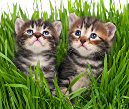 Картинки Кошки Котята 2 Трава Смотрит животное