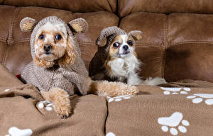 Фотографии Собаки Диван 2 Униформа Чихуахуа Пудель
