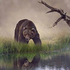 Обои Медведи Вода Бурые Медведи Траве Животные