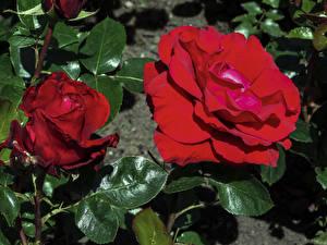 Обои Розы Бордовый Двое Листья Цветы фото