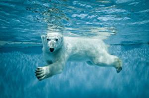 Обои Медведи Вода Северный Плывут Животные