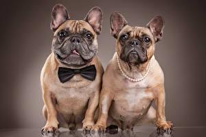 Обои Собаки Двое Бульдог Взгляд Цветной фон Животные фото