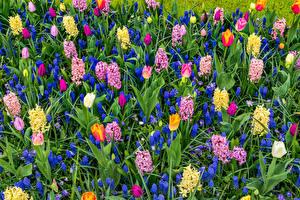 Картинка Тюльпаны Гиацинты Много