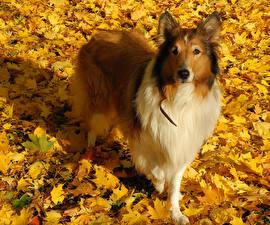 Обои Собаки Колли Листья Взгляд Животные фото