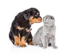Картинки Кошка Собака Щенок Котят Ротвейлер Двое Белым фоном Животные